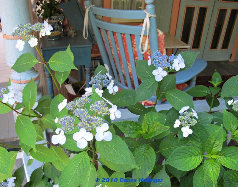 Hydrangeas on Marthas Vineyard