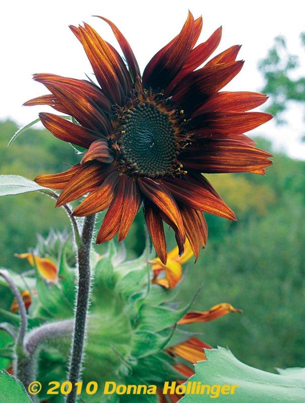 Vermont Sunflower with Overcast Sky