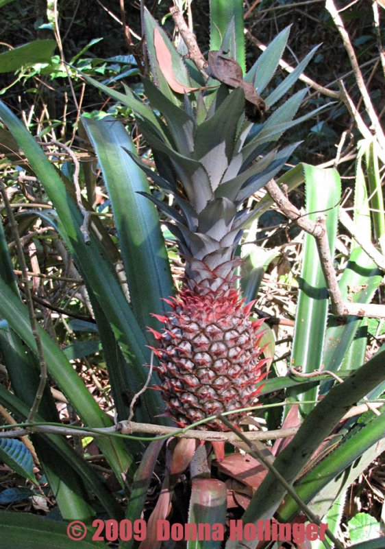 Pineapple Growing in the Forest