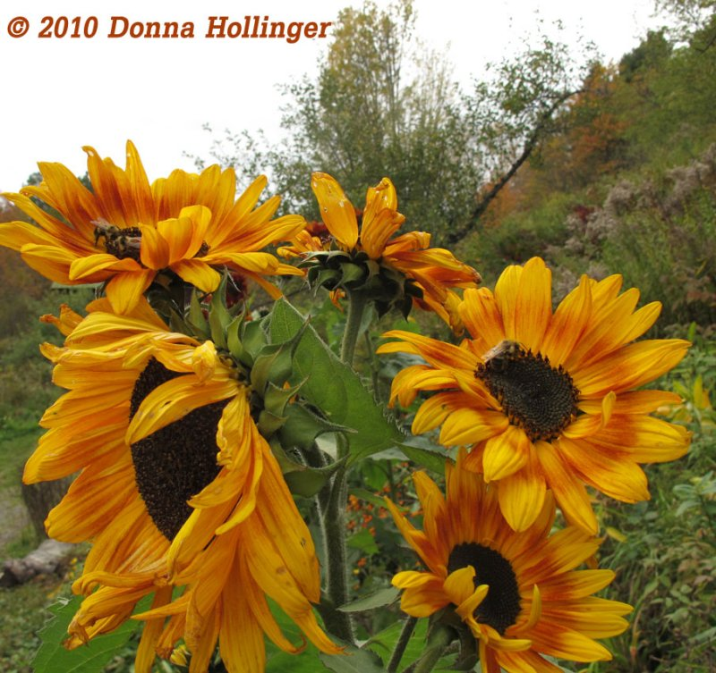 Sunflowers today with a gray sky