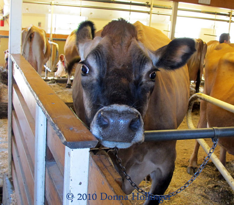 One Big Dairy Cow
