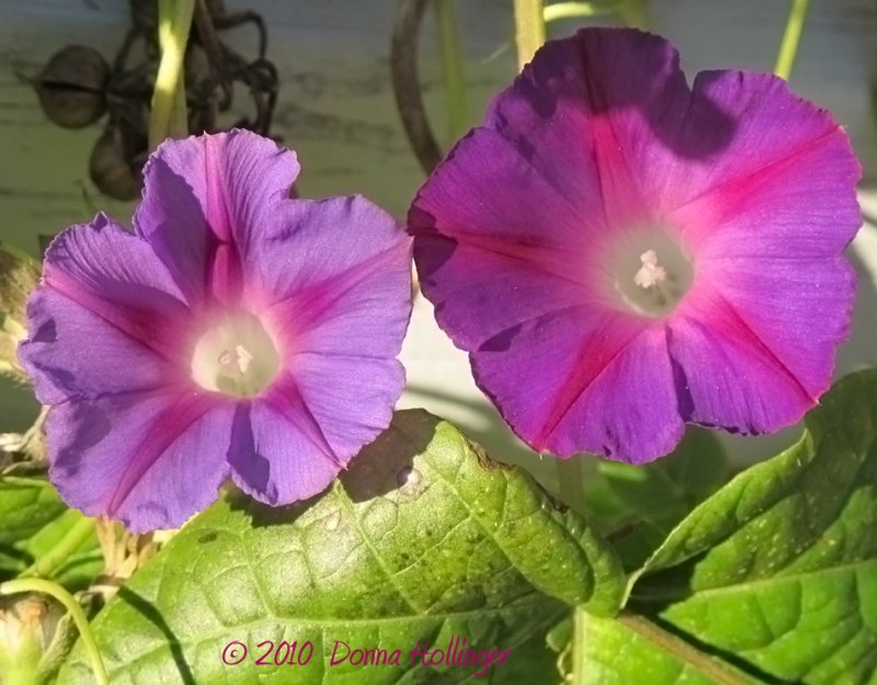 Morning Glory Sisters