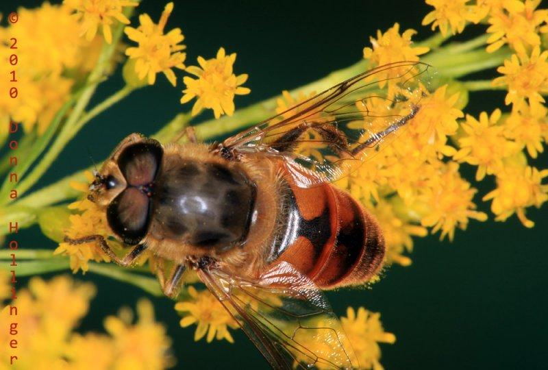 Segmented thorax on this Eristalis?
