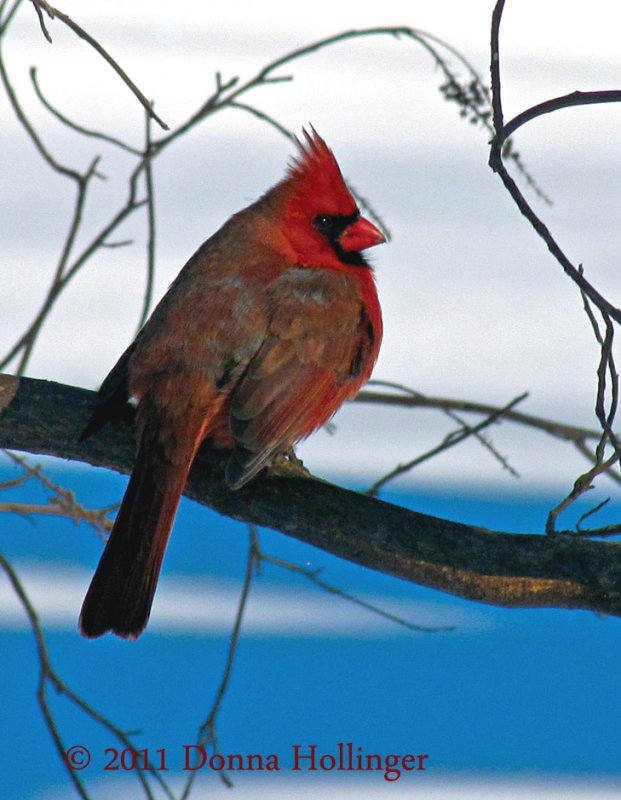 Male Cardinal Turning Blue