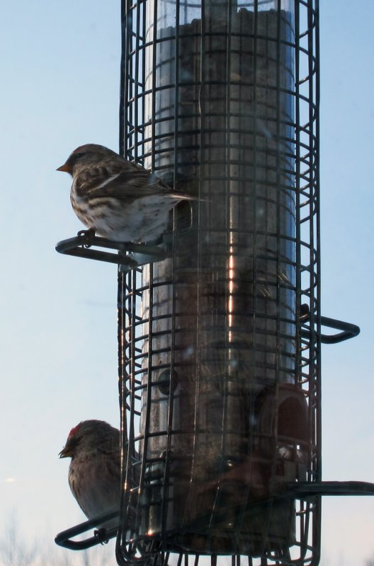 2 Redpolls on the Sunflower Feeder