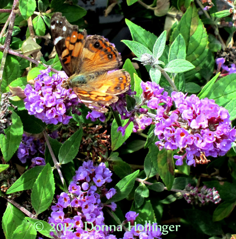 Butterfly Bush with American Lady Butterfly