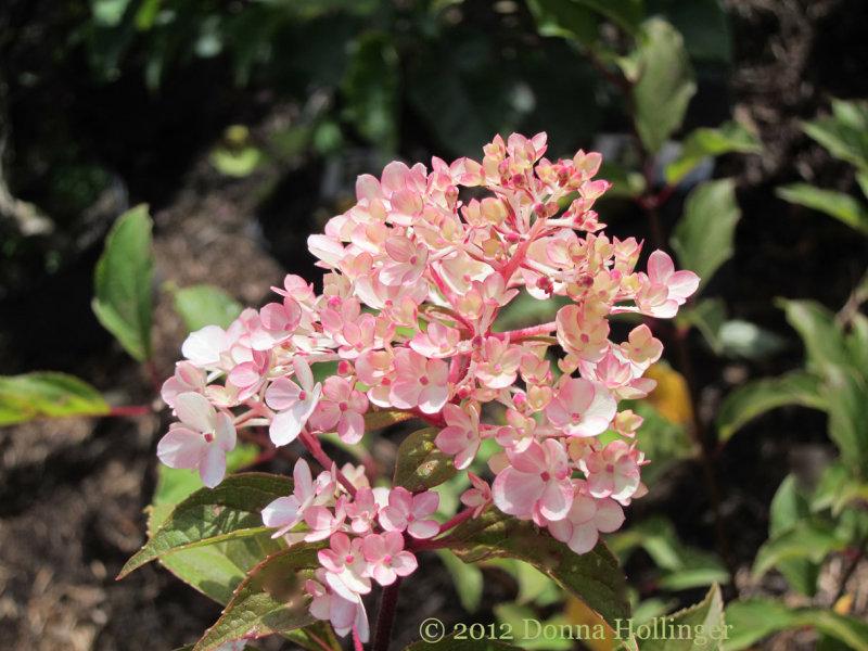 Pinky Winky Hydrangea?