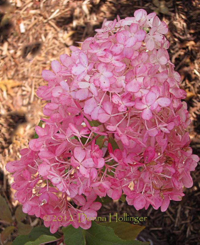 Hydrangea having a fall bloom
