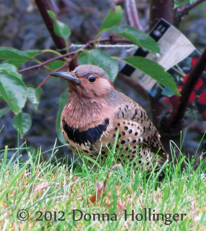 Flicker poking for insects