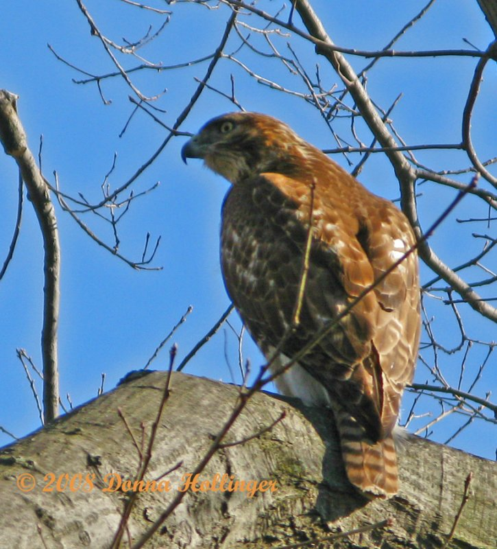Red Tailed Hawk Looking