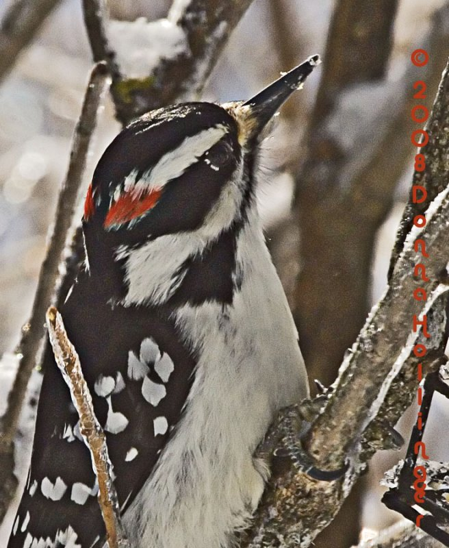 Male Hairy Woodpecker