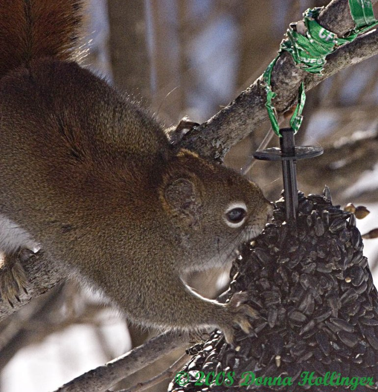 Red Squirrel Eating Sunflower Seeds