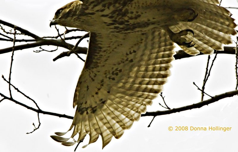 Redtailed Hawk Wing and Talon