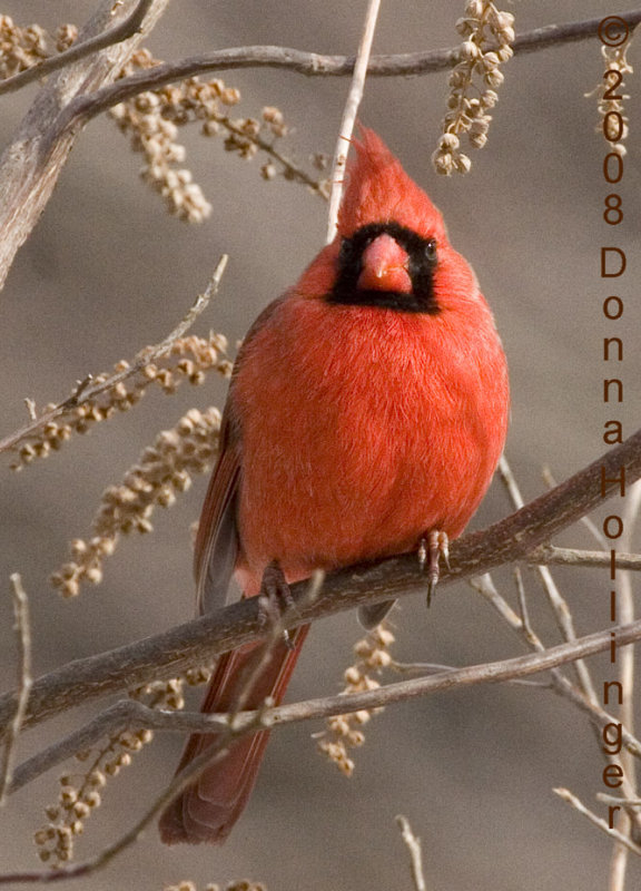 Cardinal with Brown Eyes