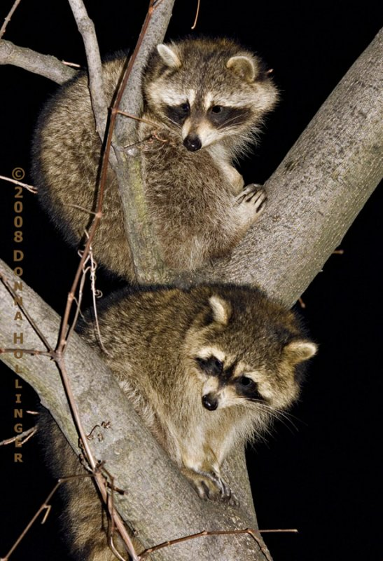 Two Baby Racoons Visiting