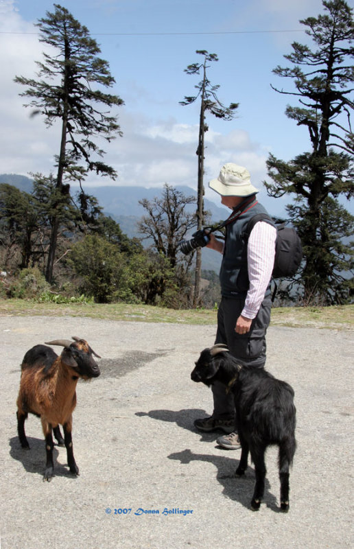 Peter viewing Jumolhari with two goats