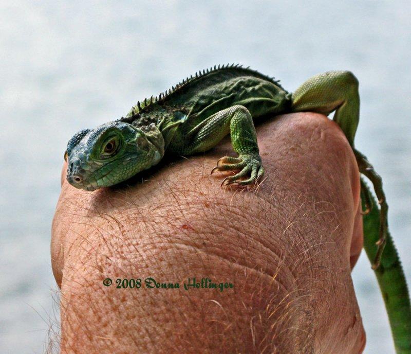 Lizard on line