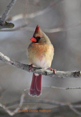 Northen Female Cardinal