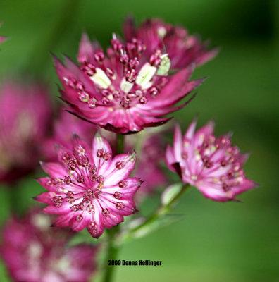 Astrantia (Masterwort) Flowers