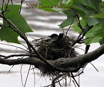 Kingbird in Nest