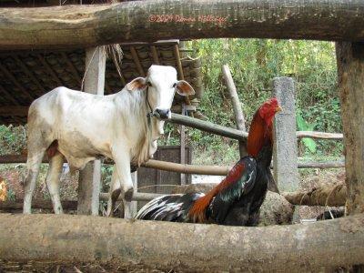 Iskandar's Cow and Cock