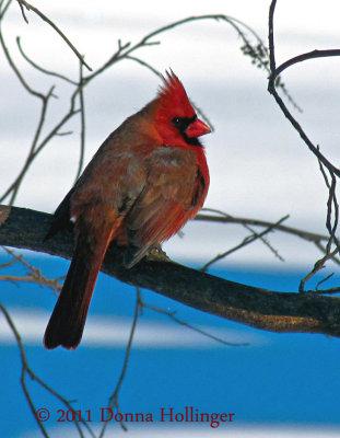 Male Cardinal Turning Blue