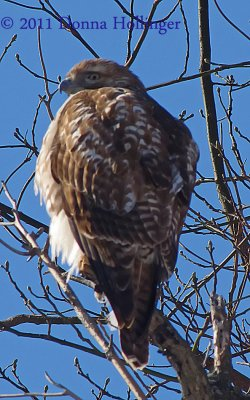 Red Tailed Hawk from behind