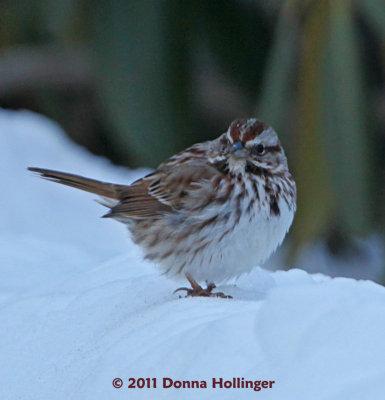 Song Sparrow Feeding at Mount Auburn