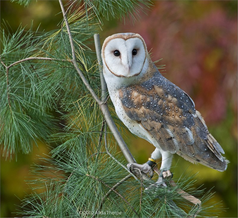 Barn Owl, Captured