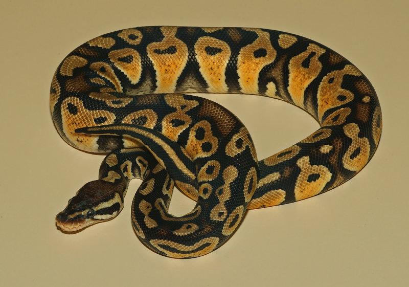 Ball Python (Pastel Morph)