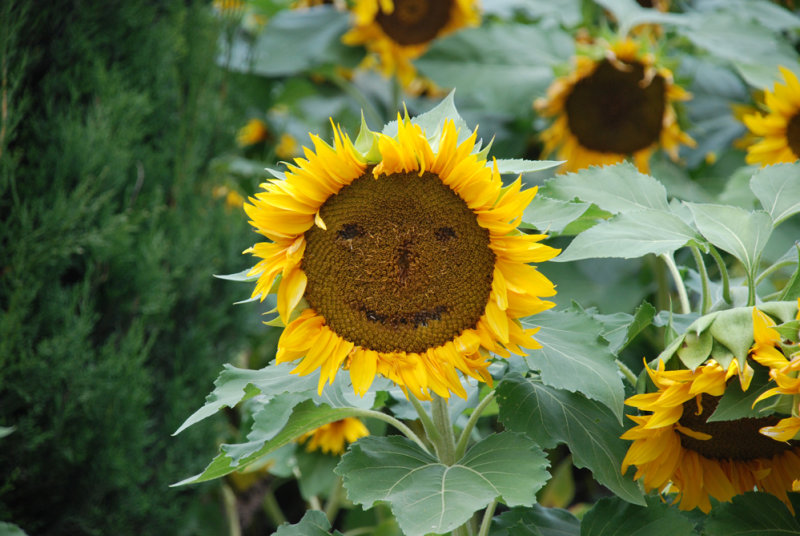 Ms. Sunflower