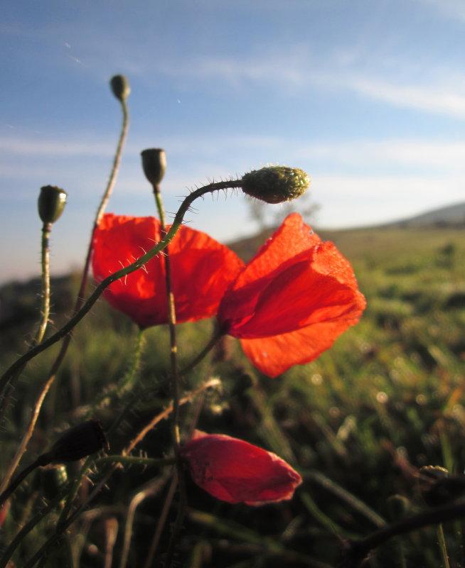 Poppies  in  October ?