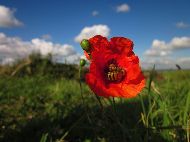 Bees  and  poppies  in  harmony.
