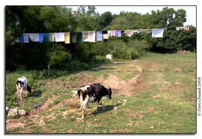 Cows & Laundry