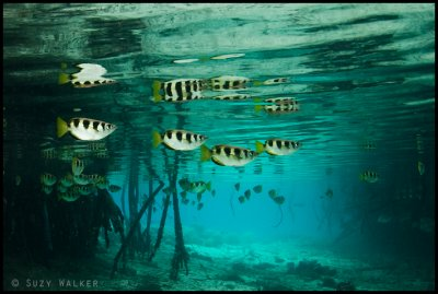 Archer fish in the Mangroves