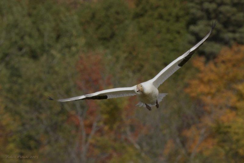Oie blanche -- _Z0U0055 -- Snow Goose