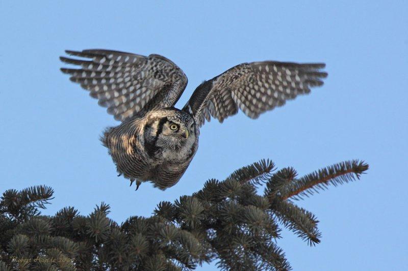 Chouette épervière -- _E0K0745 -- Northern Hawk Owl