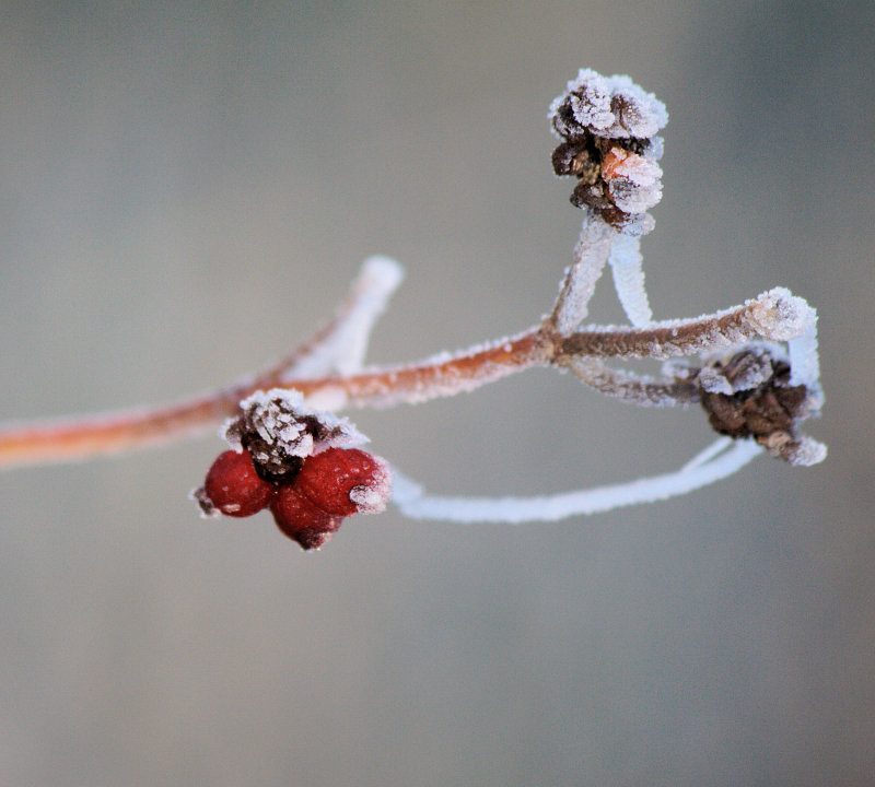 Frost on a bud
