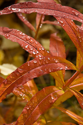 08-09 Fireweed after rain.JPG