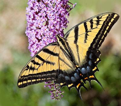 10-08 Western Tiger Swallowtail 01.jpg