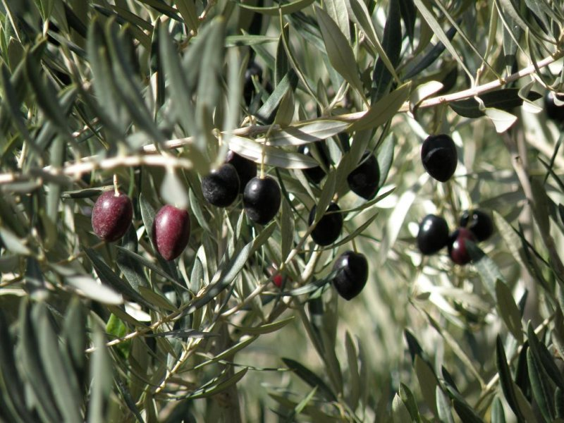 olives among the date palms
