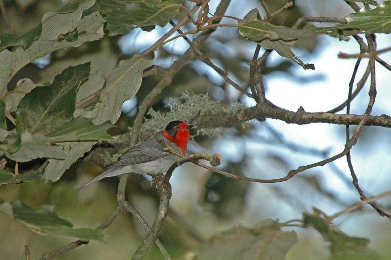 Red-faced Warbler 2