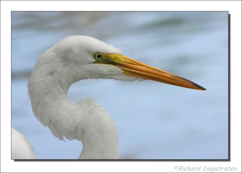 Grote Zilverreiger / Ardea alba / Great Egret