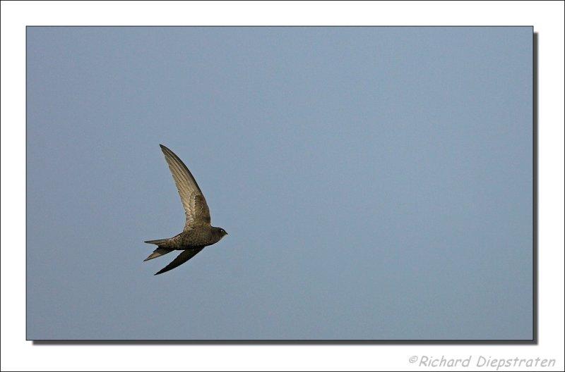 Gierzwaluw - Apus apus - Swift