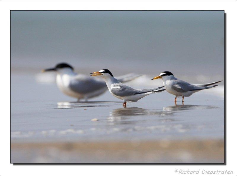Dwergstern - Sterna albifrons - Little Tern