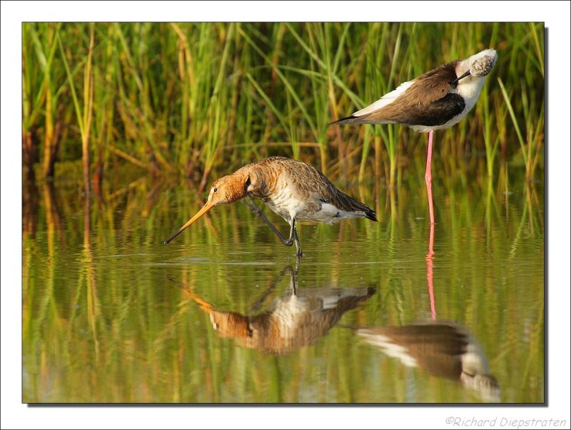 Grutto - Limosa limosa - Black Tailed Godwit