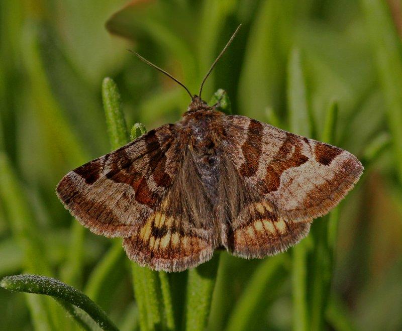 Gulbrokigt slåtterfly nattflyn.jpg