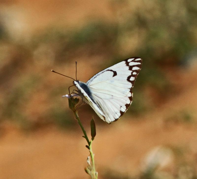 Butterfly W.S