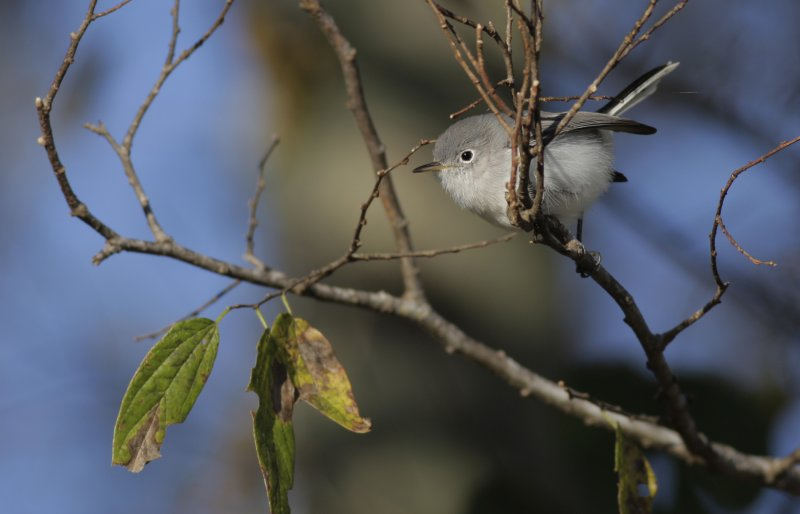 Blue-gray Gnatcatcher1.jpg