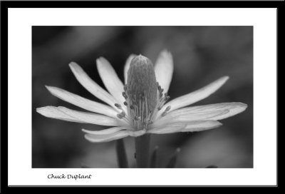 Ten-petal Anemone BW.jpg